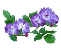 Blue Climbing Roses