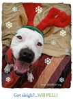 Pit Bull Holiday Cards