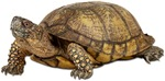 Box Turtle Photo