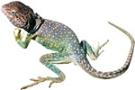 Collared Lizard Photo T-Shirts