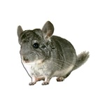Chinchilla Gifts