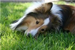 Sheltie in Grass
