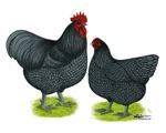 Blue Orpington Chickens