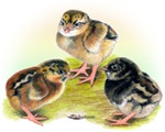Dark Cornish Poultry Chicks
