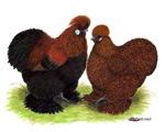 Partridge Silkies