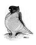 Oriental Frill Pigeon 1978