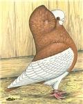 Yellow Komorner Pigeon