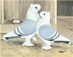Satinette Pigeons
