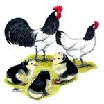 Lakenvelder Chicken Family