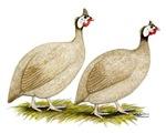 Guineas Buff Dundotte Fowl