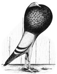 Swing Pouter Pigeon
