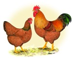 New Hampshire Rooster and Hen