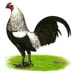 Birchen OE Cock