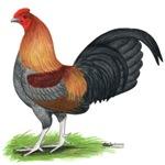 Blue Wheaten Cock