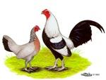 Silver Duckwing OE