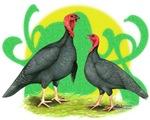 Blue Slate Turkeys2