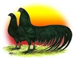 Sumatra Game Fowl