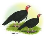 Black Turkeys