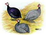 Guineafowl Trio