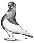 Ancient Shortface Pigeon