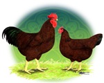 Rhode Island Red Poultry