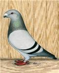Show Racer Pigeon