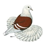 Saxon Shield Pigeon
