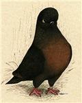 Kite Tumbler Pigeon