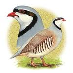 Partridge Chukar