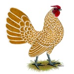 Sebright Buff-laced Rooster