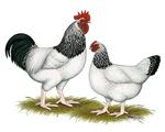 Sussex Light Chickens