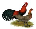 Phoenix BB Red Chickens