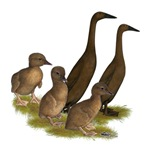 Chocolate Runner Duck Family