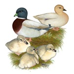 Pastel Call Duck Family