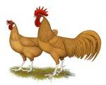 Buff Minorca Fowl