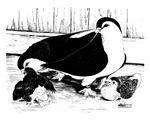 Lahore Pigeons