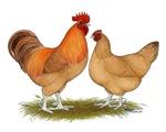 Lincolnshire Buff Chickens