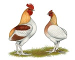 Manx Rumpy Chickens