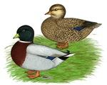 Grey Call Ducks