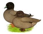 Khaki Call Ducks