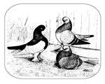 Berlin Shortfaced Pigeons 1980