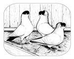 Helmet Pigeon Trio