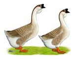 Buff African Geese