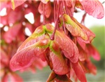 Maple Seedpods