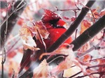 Cardinal in a Japanese Maple