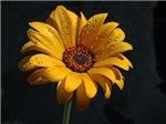Sunny Yellow Mum
