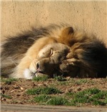 Lion in Dreamland