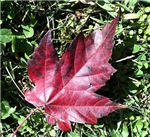 Vibrant Red Maple Leaf