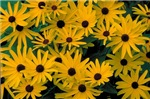 Bunches of tiny Sunflowers