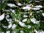 Snow Plant